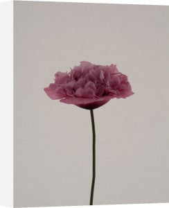 Pink Poppy by Claire Brooker