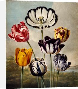 Tulips by Robert John Thornton