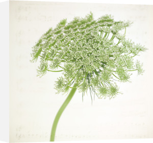 Queen Anne's Lace by Deborah Schenck