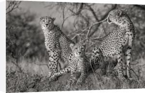 Three Cats by Jaco Marx