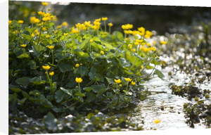 Marsh Marigolds by Richard Osbourne