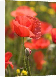 Red Poppies II by Richard Osbourne