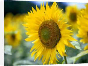 Sunflowers I by Richard Osbourne