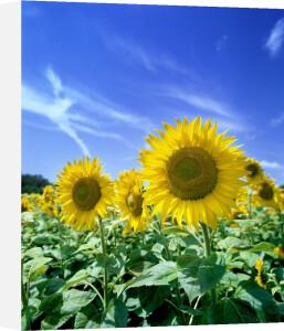 Sunflowers II by Richard Osbourne