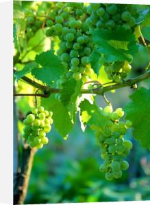 Vineyard III by Richard Osbourne