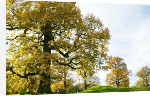 Autumn Oaks by Richard Osbourne