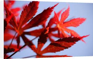 Red Japanese Maple by Richard Osbourne