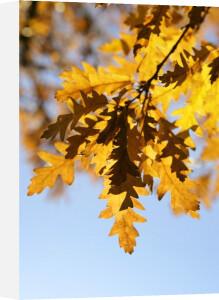 Oak Leaves by Richard Osbourne