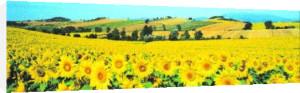 Sunflower Field, Umbria by Philip Enticknap