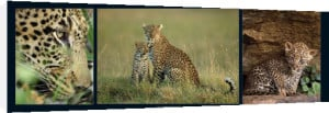 Leopard Family by M & C Denise Hout