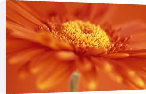 Chrysanthemum by Dave Zubraski
