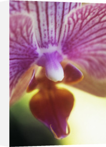 Orchid by Grace Carlon