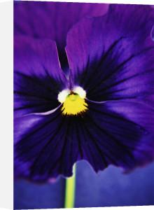 Viola 'Swiss giant' by Jane R. Wood