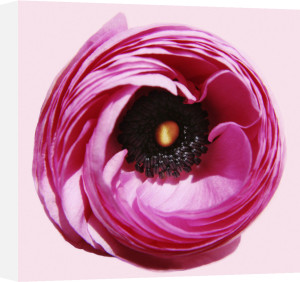 Ranunculus asiaticus by Jane R. Wood
