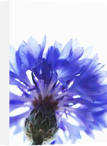 Centaurea cyanus by Jane R. Wood