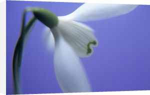 Galanthus nivalis by Tracy Simmonds