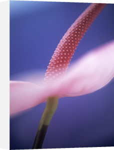 Anthurium by Tracy Simmonds