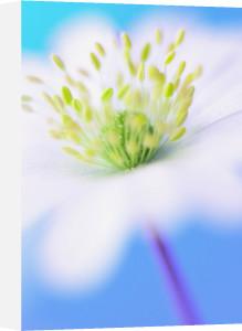 Anemone blanda, Anemone by Clive Holmes Ltd