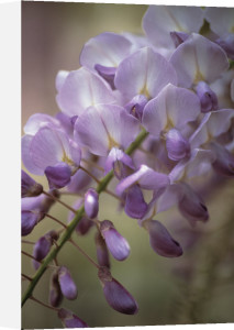 Wisteria, Wisteria by Ashton