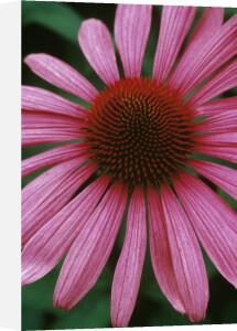 Echinacea, Purple coneflower by Rosemary Calvert
