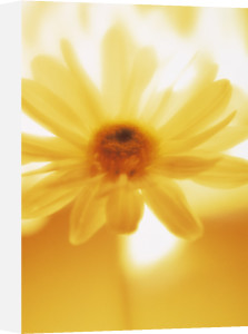 Bellis, Daisy by Carl Pendle