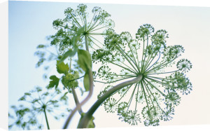 Angelica archangelica, Angelica by Carol Sharp
