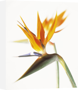 Strelitzia, Bird of paradise by Carol Sharp