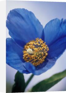 Meconopsis grandis, Himalayan blue poppy by Carol Sharp