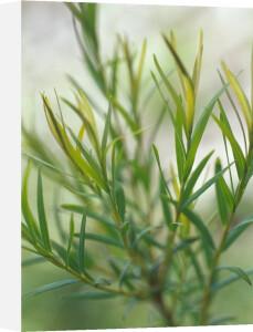 Melaleuca alternifolia, Tea tree by Carol Sharp