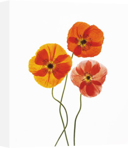 Papaver croceum, Poppy - Icelandic poppy by Carol Sharp
