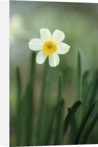 Narcissus, Daffodil by Carol Sharp