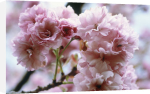 Prunus 'Kanzan', Cherry by Carol Sharp