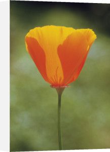 Eschscholzia californica, Poppy - Californian poppy by Carol Sharp