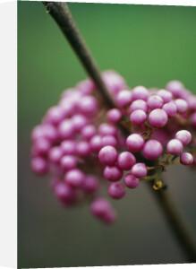 Callicarpa bodinieri, Beauty berry by Carol Sharp