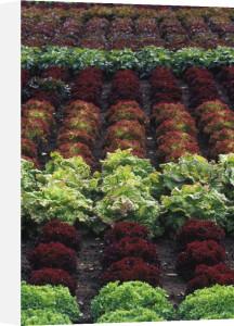 Lactuca sativa, Lettuce by Duncan Smith