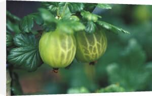Ribes uva-crispa 'Broomgirl', Gooseberry by Duncan Smith