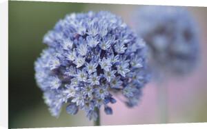 Allium caeruleum by Dave Tully