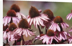 Echinacea purpurea, Purple coneflower by Dave Tully