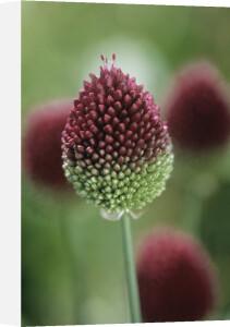 Allium scorodoprasum, Allium by Dave Zubraski