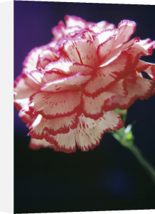 Dianthus, Carnation by Ewa Ohlsson