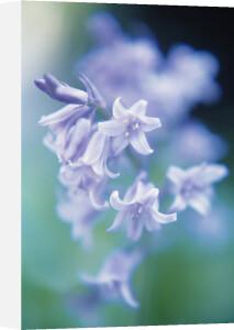 Hyacinthoides, Bluebell by Ewa Ohlsson