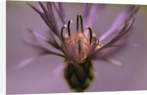 Knautia macedonica, Cornflower - Perennial cornflower by Grace Carlon