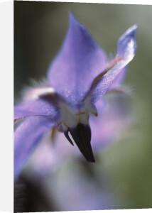 Borago officinalis, Borage by Grace Carlon