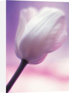 Tulipa, Tulip by Grace Carlon