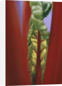 Beta vulgaris, Swiss chard by Grace Carlon
