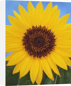 Helianthus annus, Sunflower by Gill Orsman