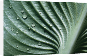 Hosta, Hosta by Gill Orsman