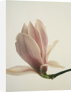 Magnolia soulangeana, Magnolia by John Beedle