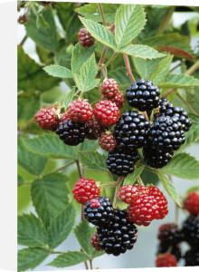 Rubus laciniatus 'Loch Ness', Blackberry by Jonathan Buckley