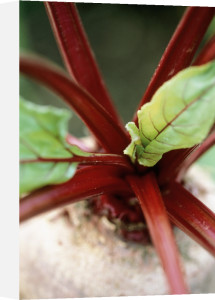 Beta vulgaris, Beetroot by Jonathan Buckley
